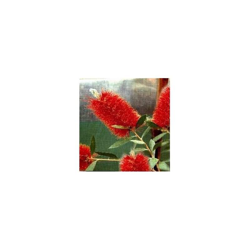 Callistemon citrinus cv. Splendens