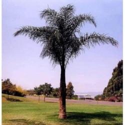 Syagrus romanzoffiana sp. 'Santa Catarina (syn. Arecastrum r.)