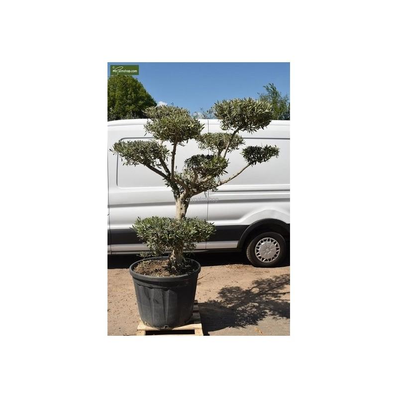 Olea - olea europaea bonsai 250 ltr [palette]