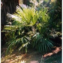 Rhapidophyllum hystrix