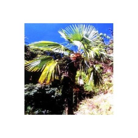 Trachycarpus martianus'Nepal'