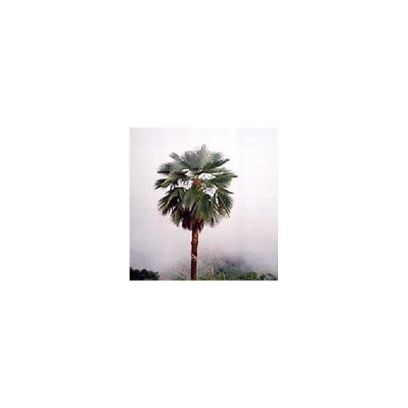 Trachycarpus naga manipour