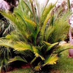 Vente en ligne de plantes exotiques et tropicales d for Arbre exotique exterieur