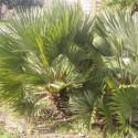 Chamaerops humilis var. vulcano