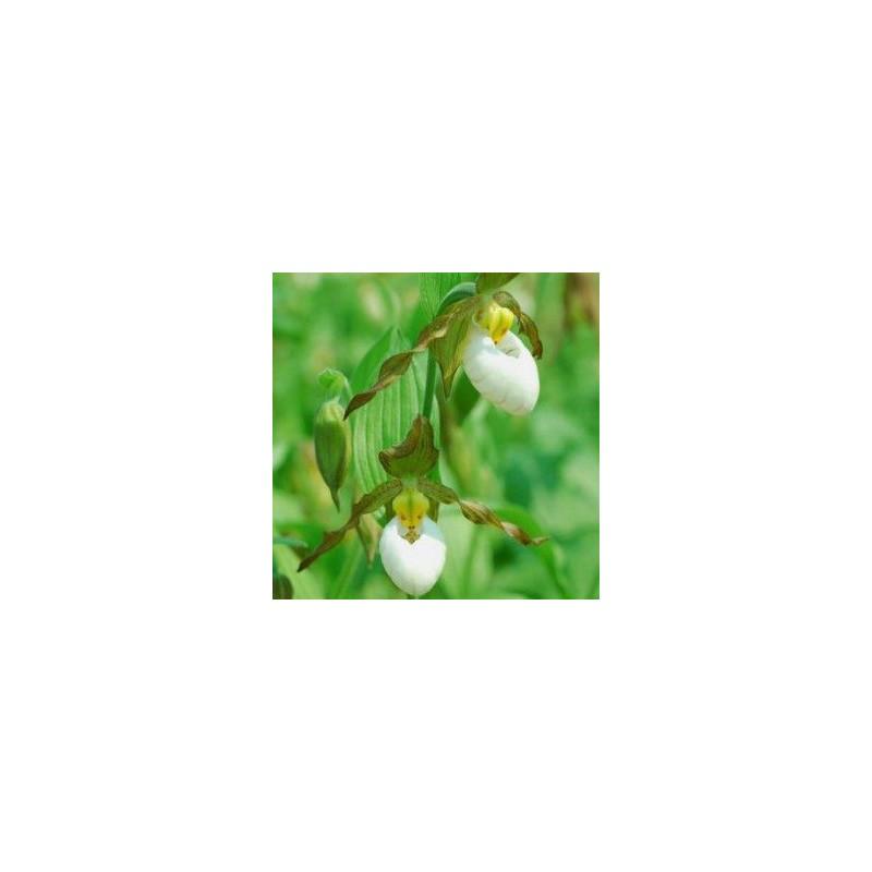 Cypripedium columbianum