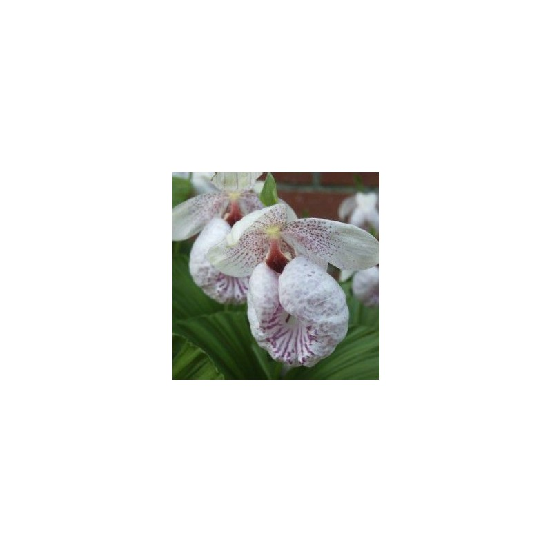 Orchidées terrestres rustiques - cypripedium formosanum