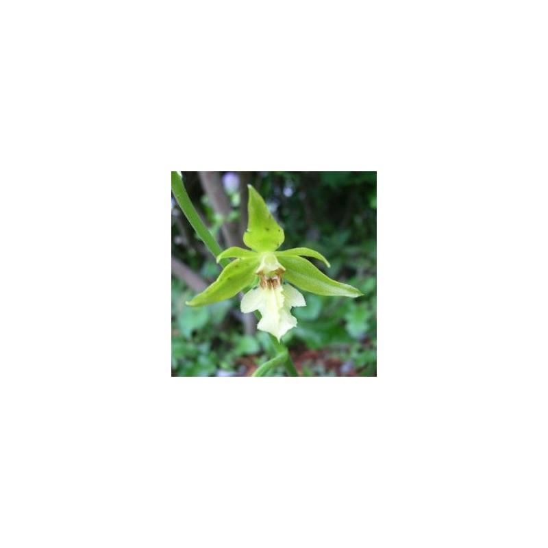 Calanthe nipponica