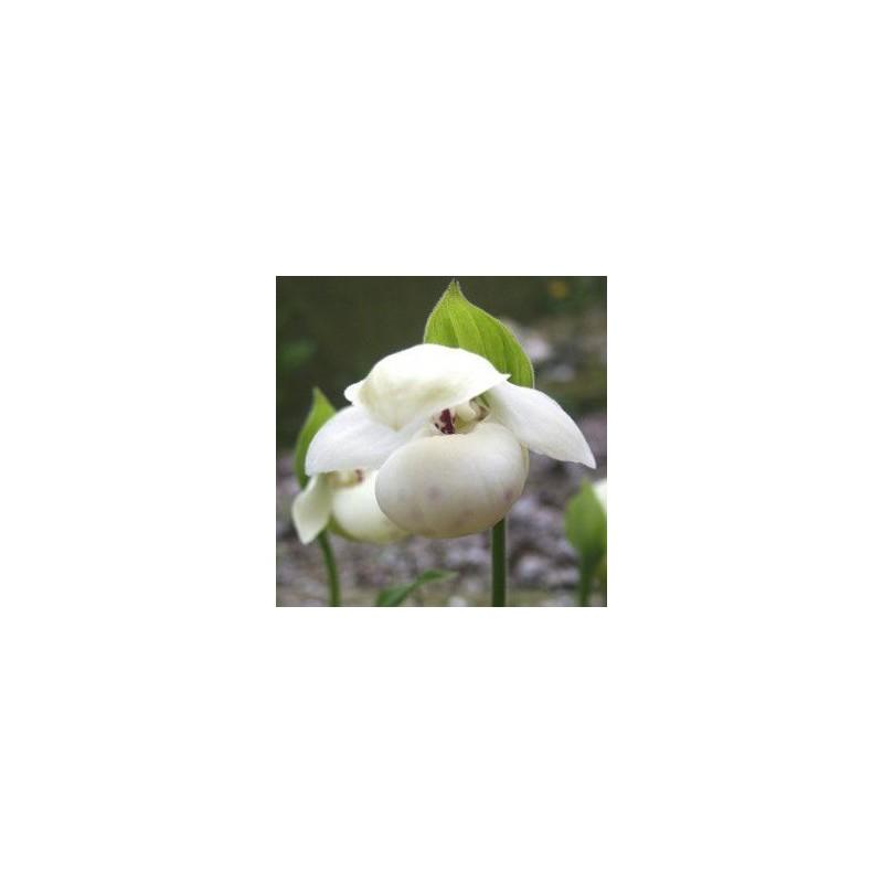 Cypripedium flavum alba