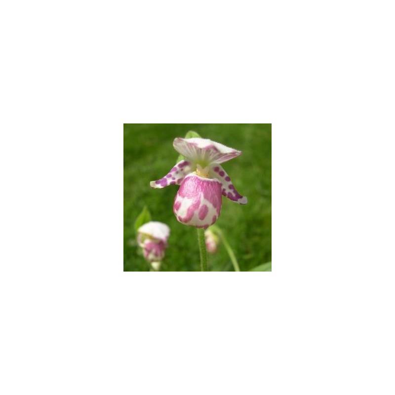 Cypripedium guttatum
