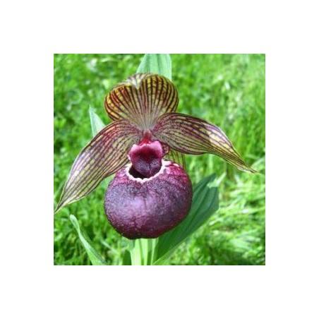 Cypripedium tibeticum