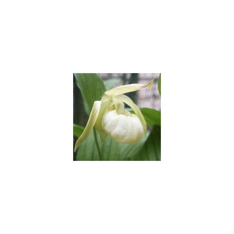 Cypripedium X ventricosum