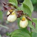 "Cypripedium ""Inge"""