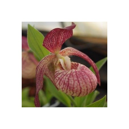 "Cypripedium ""Hans Erni"""