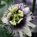 Passiflora edulis var. flavicarpa