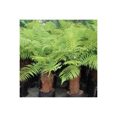 Dicksonia fibrosa (fougères arborescentes)