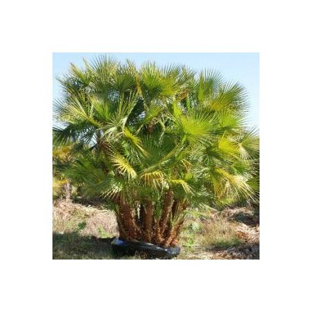 Acoelorrhaphe wrightii (palmier des everglades)