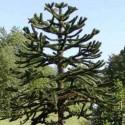 Araucaria heterophylla (Pin de Norfolk - Sapin d'intérieur)
