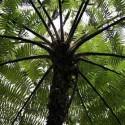 Cyathea cooperi (fougères arborescentes)