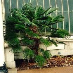 trachycarpus palmier chanvre palmier de chine palmier du kumaon tropicaflore plantes. Black Bedroom Furniture Sets. Home Design Ideas