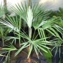 Trachycarpus princeps Hybride