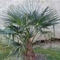 Trachycarpus sp. Kumaon