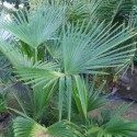 Trachycarpus sp. Nova