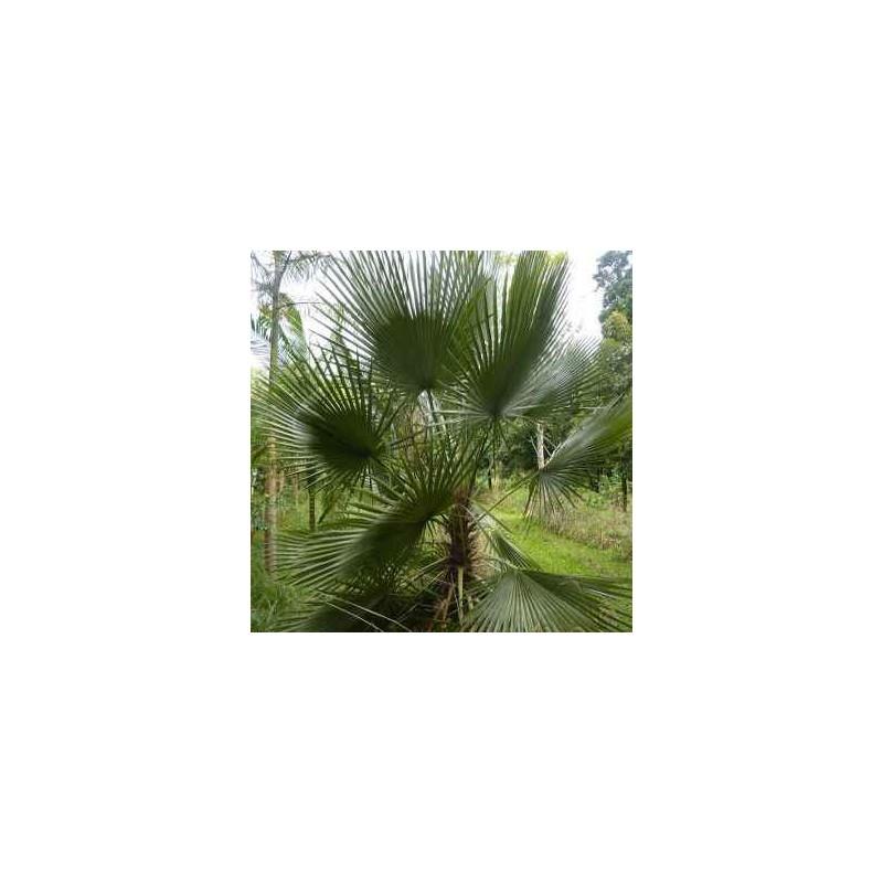 Trithrinax brasiliensis