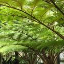 Cyathea australis (fougères arborescentes)