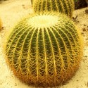 Echinocactus grusonii (coussin de belle mère)