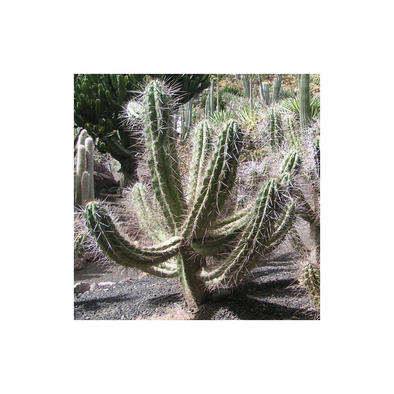 Stetsonia coryne (cactus cure dent)