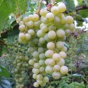 Vitis 'Himrod' ( blanc sans graines dans les raisins)