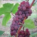 Vitis 'Vanessa'( rouge vif sans graines dans les raisins)