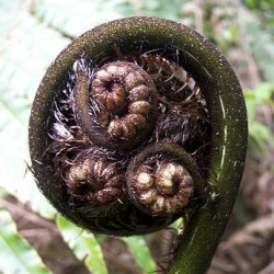 Cyathea medullaris (fougères arborescentes)