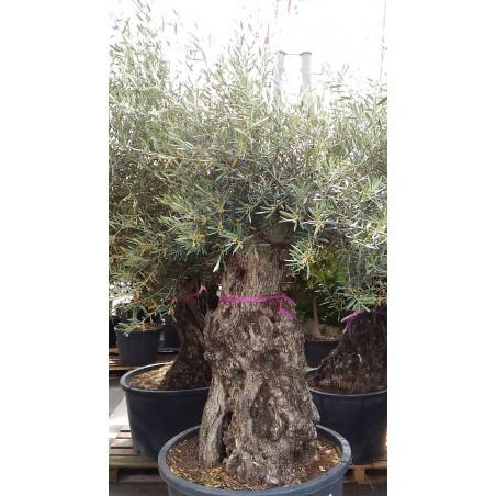 Olea europaea (Oliviers) bi-centenaire et bonsaï
