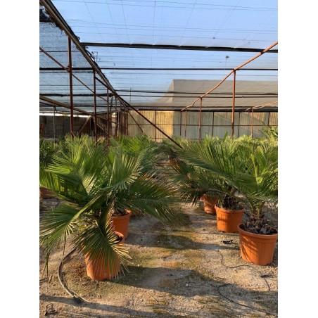 Jubaea chilensis 50L 120cm