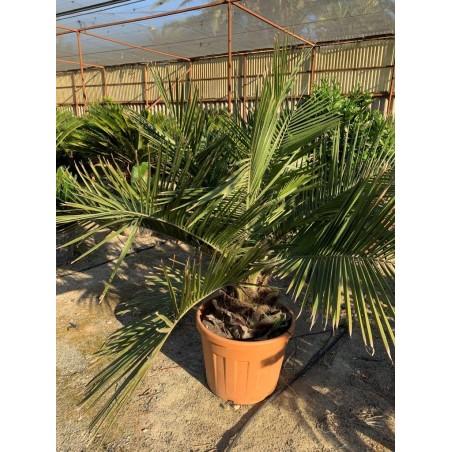 Jubaea chilensis 70L 140/160cm