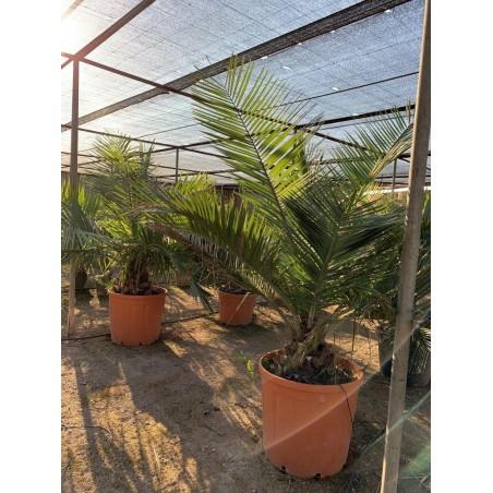 Jubaea chilensis 150L 160/180cm