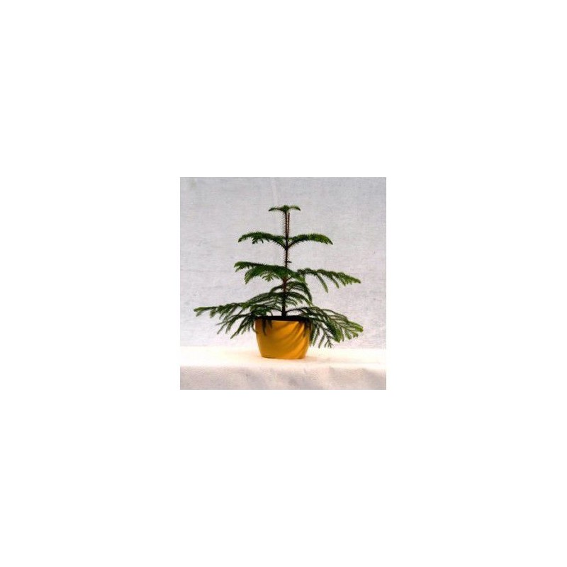 Plantes d'intérieur - araucaria heterophylla (pin de norfolk - sapin d'intérieur)