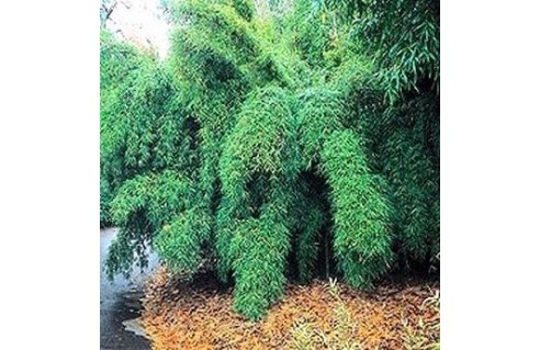 Bambou pleureur (Fargesia)