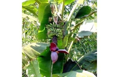 Bananiers (Musa)