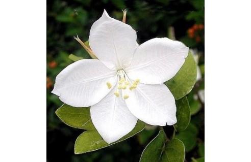 Bauhinia (Arbre à orchidées - Bauhinies - Bauhiniers)