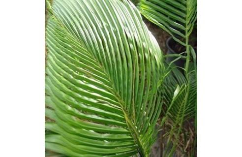 Beccariophoenix (Palmier de Manarano)