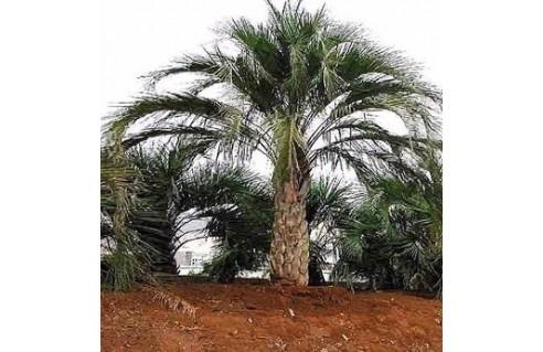 Butia (Palmier à vin - Palmier à gelée - Butée - Arbre à laque)