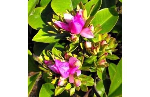 Cactus à feuilles (Pereskia)
