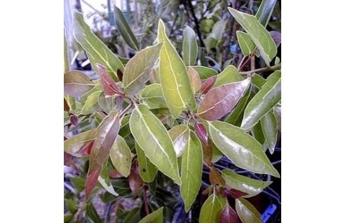 Camphrier, Camphre (Cinnamomum)