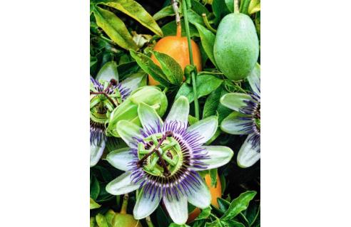 Fruitiers exotiques bon marché