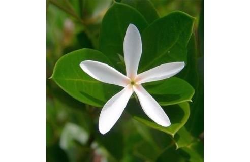 Carissa (Prunier du Natal)