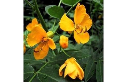 Cassia (senna)