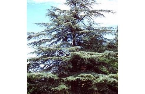 Cedrus (Cèdre du Liban)