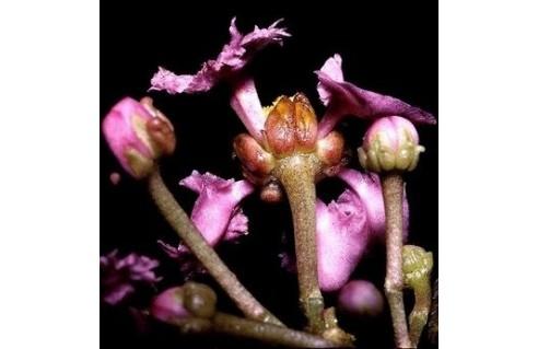 Cerisier des Antilles (Malpighia)